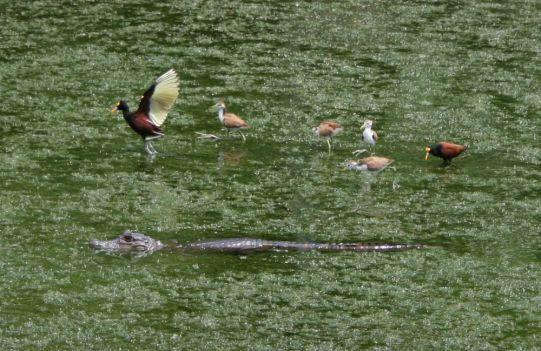 caiman-crocodilus_jacana-spinosa_3