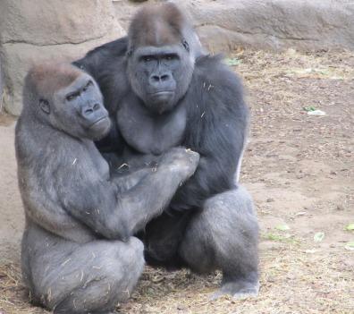 gorillas-1233429_1920